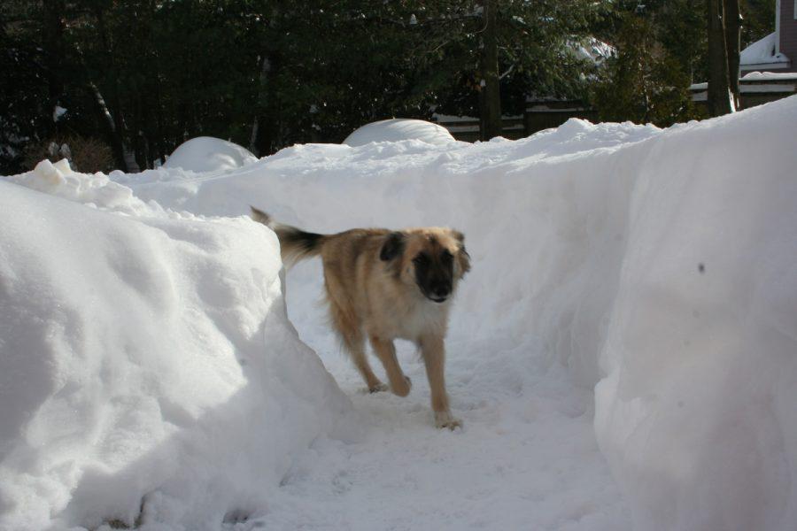 Dog running in snow track